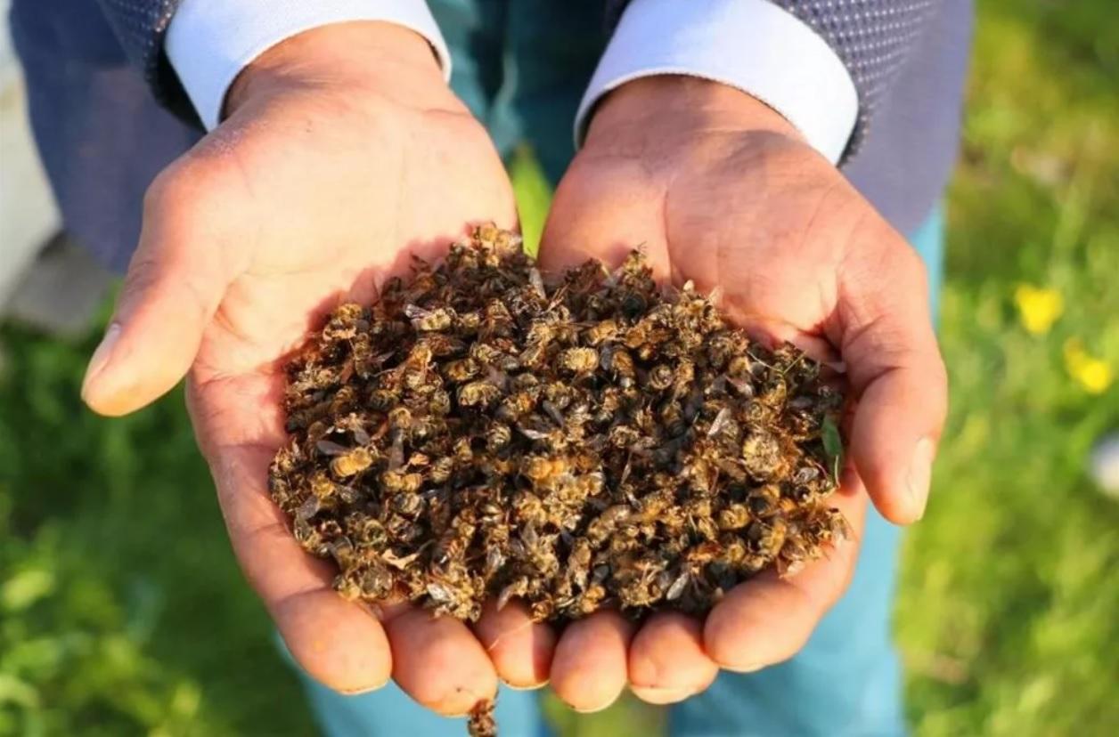 Чем полезна настойка пчелиного подмора, ее применение в лечение болезней и рецепты