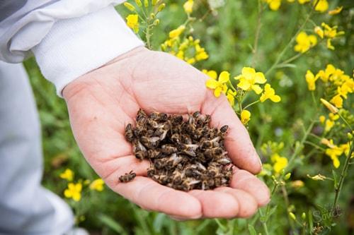 Пчелиный подмор для спиртовой настойки