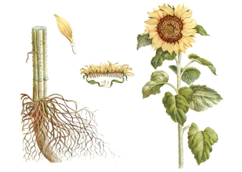 Полезные и лечебные свойства корней подсолнечника